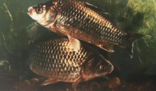內蒙古四星級漁家樂-鯽魚幼魚