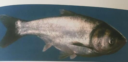 哈素海水产批发销售-鲢鱼鱼苗