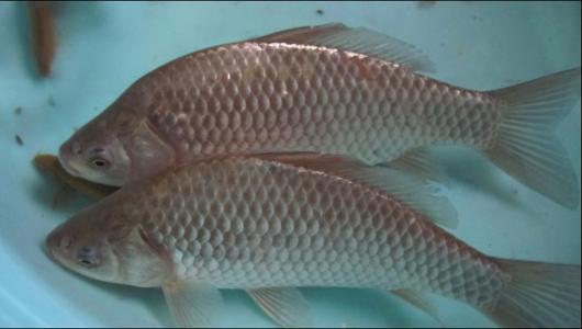 成品魚養殖