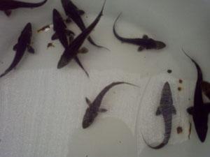 鲢鱼鱼苗养殖厂家