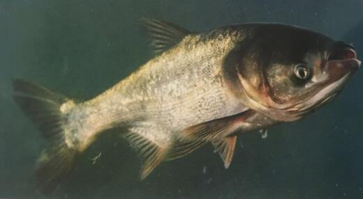 哈素海鱼苗养殖-鳙鱼