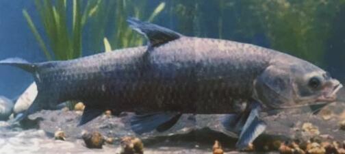 哈素海鱼苗养殖-成品青鱼