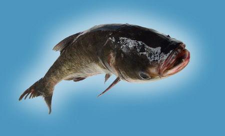 鳙鱼养殖注意事项
