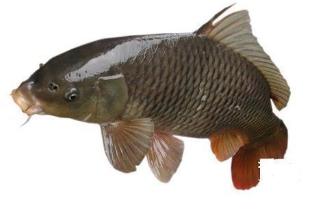 鳙鱼水产批发厂家