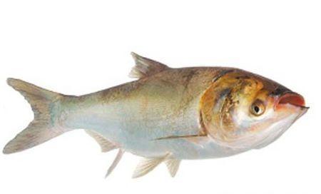 鳙鱼养殖技术