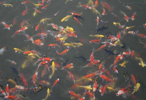河道鱼苗养殖