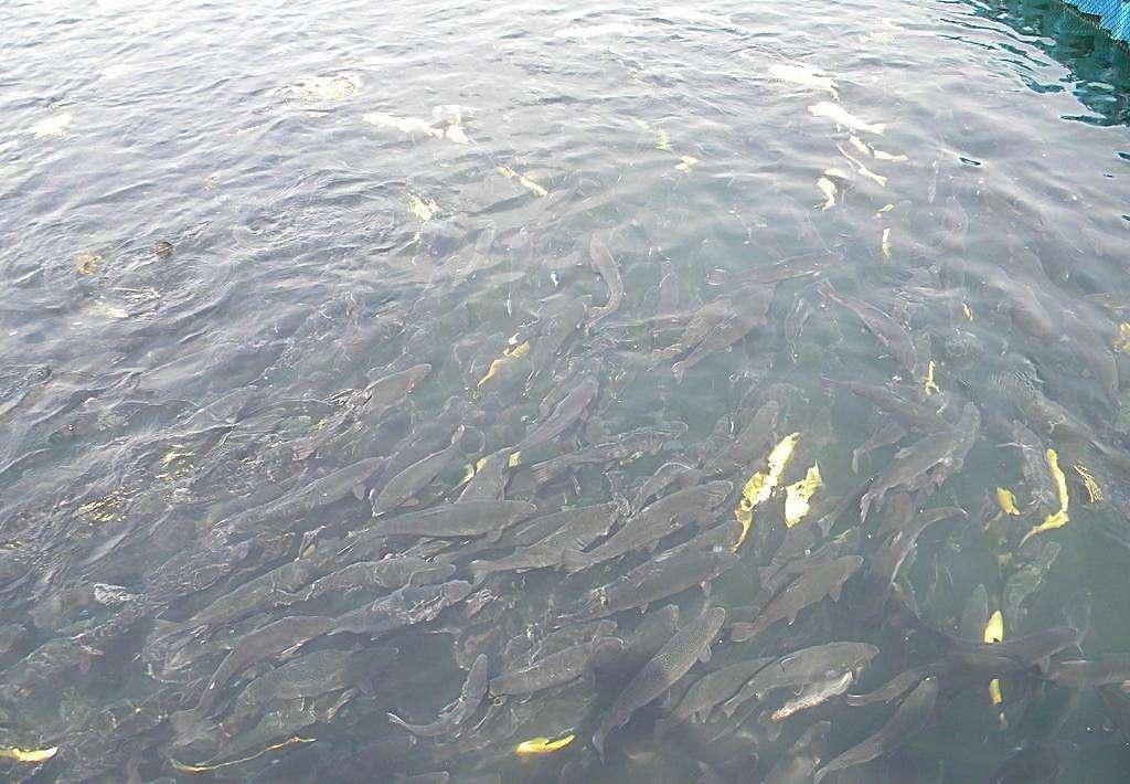 内蒙古鱼苗养殖厂家