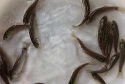 购买鱼苗谨防三大骗招,昊海渔业为您解答