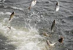 如何快速识别鱼吃食情况呢?哈素海鱼苗养殖厂家为您解答
