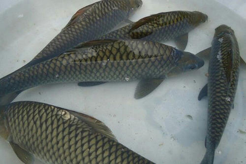 鱼苗养殖的技术关键