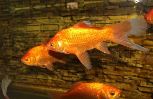 观赏鱼养殖