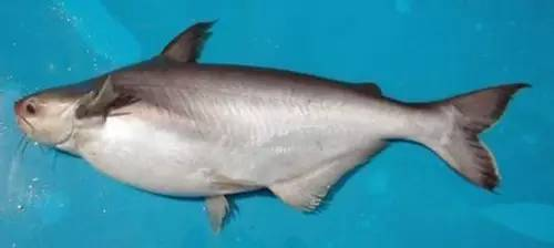 巴沙鱼的养殖