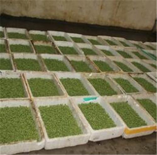 河南大型豆芽生产线案例