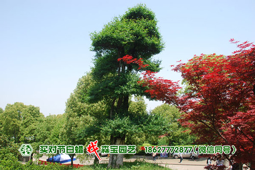 湖北大学对节白蜡树