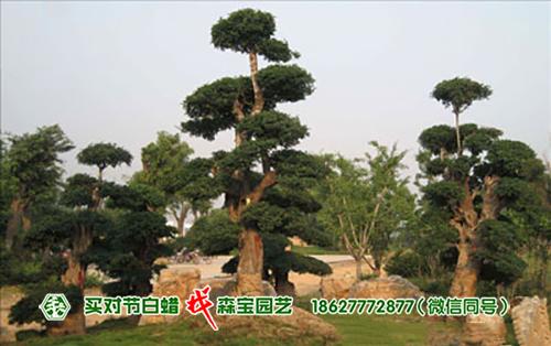 济南大学城-对节白蜡树