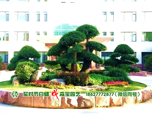 政府对节白蜡树