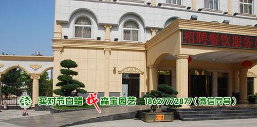 广信大酒店-湖北对节白蜡盆景
