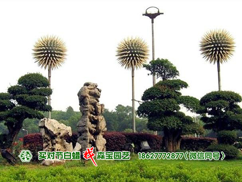 公园对节白蜡树盆景