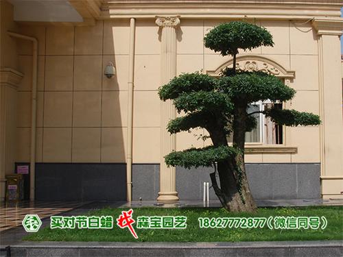 楚风阁饭店-湖北对节白蜡树