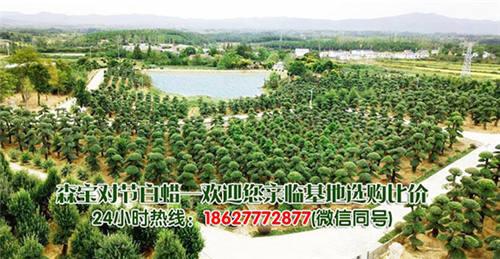 对节白蜡树适合庭院种植吗,湖北对节白蜡树多少钱一棵?