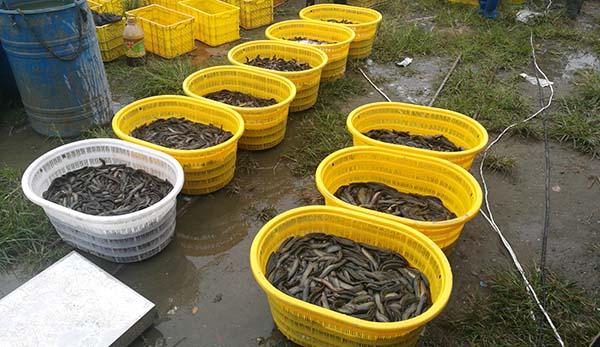正规彩票刷流水兼职 泥鳅苗养殖案例