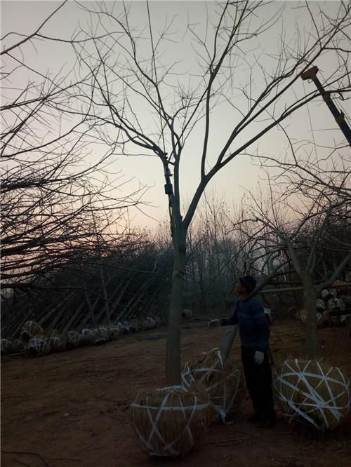 陕西苗木供应销售