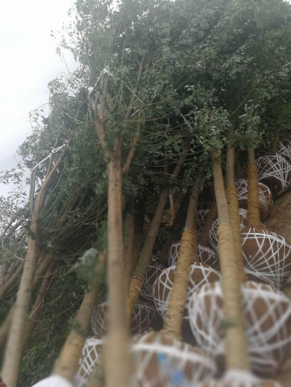 陝西苗木供應