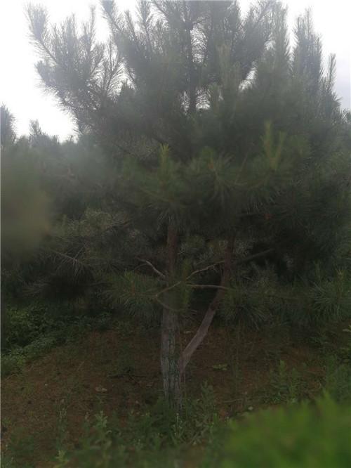 陕西苗木供应