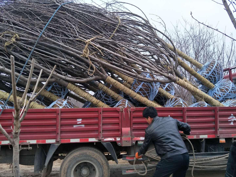 陝西苗木供應價格