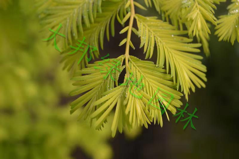 四川金叶水杉