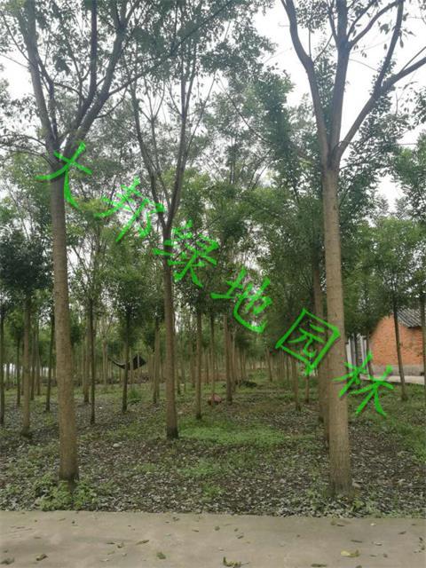 四川國槐種植基地