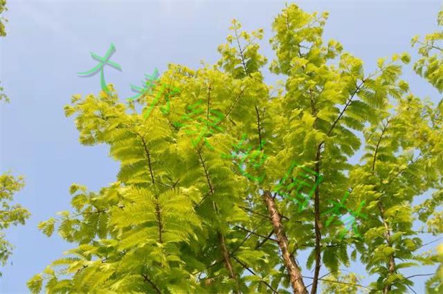 四川金叶水杉销售