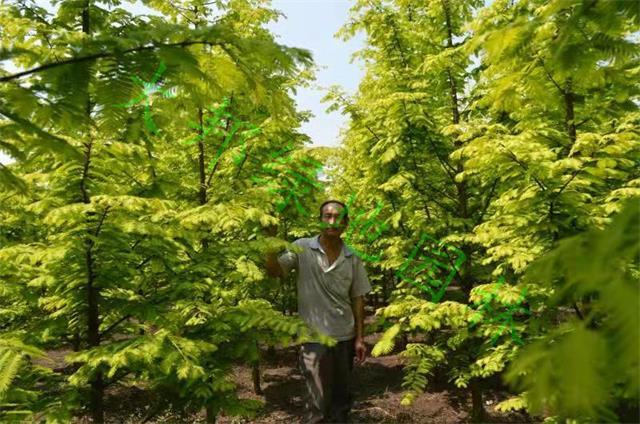 四川金葉水杉種植基地