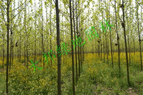 四川法桐種植基地