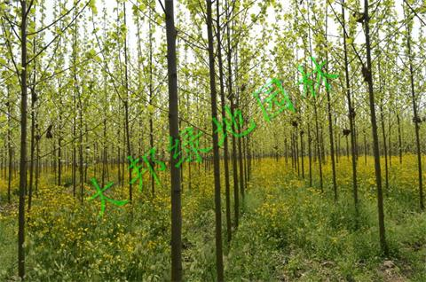造成四川法桐树叶异常变黄的竟是这几只小害虫