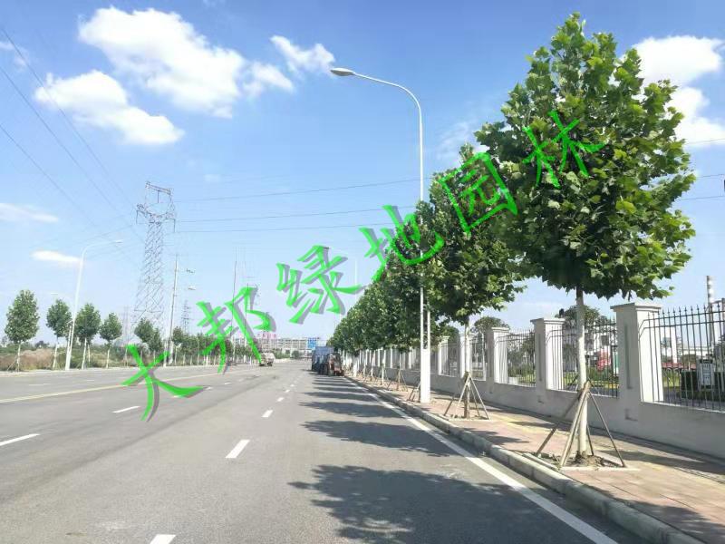 四川绿化工程行道树选择上需要注意哪些问题