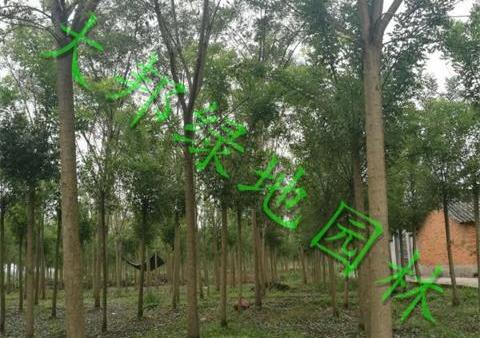 向您介绍四川国槐的灌溉方法