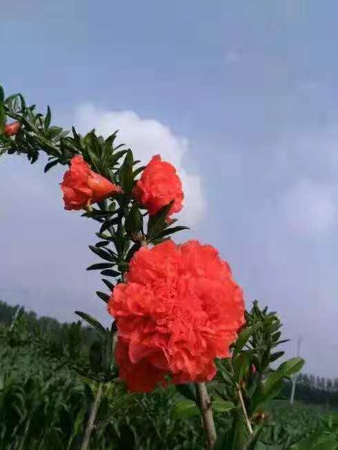 四川牡丹石榴種植基地