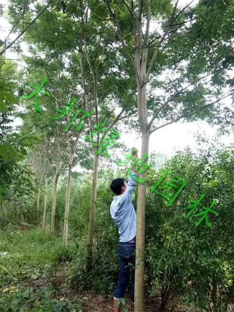 四川国槐作为大自然的植物,也需要遵循的四大原则