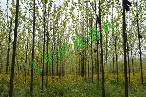 关于四川法桐的种植,一定要注意这些地方