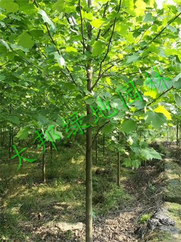 法桐苗木種植基地向您介紹法桐的施肥技術管理