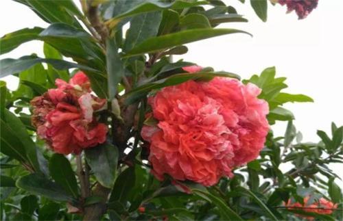 四川牡丹石榴种植有什么技巧?