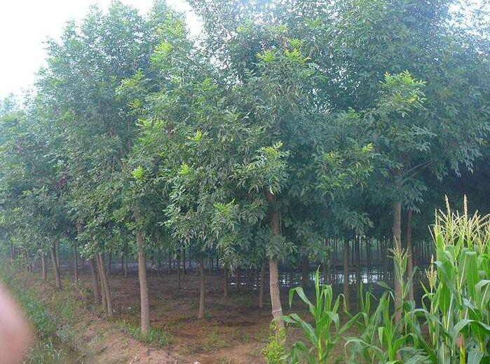 四川国槐修剪这种做法对国槐树生长会有影响吗?