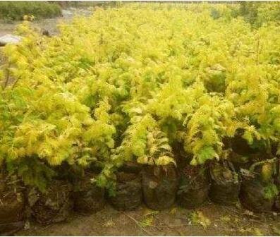 四川金叶水杉养植需要什么条件?