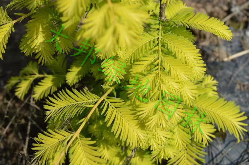 快看四川金葉水杉,掀起植物種植生態理療風潮