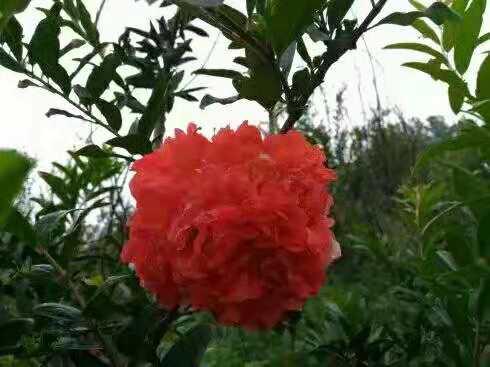 当你喜欢石榴,小编建议就养四川牡丹石榴,花朵似牡丹,红火喜庆还有果吃