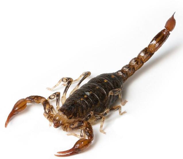湖北蝎子养殖