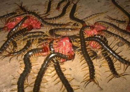 广西蜈蚣养殖加盟商说
