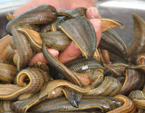 湖北水蛭养殖