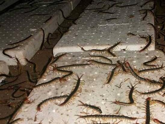 蜈蚣养殖展示